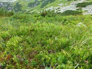 Alpínska vegetácia