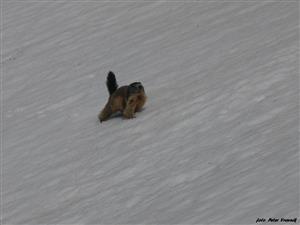 svišť na snehu