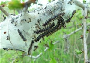 Eriogaster catax larvy