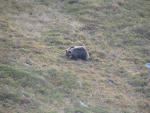medved kôprovica