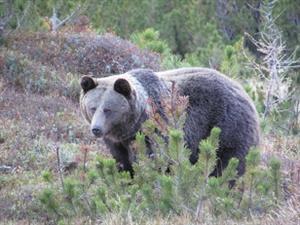 medved Kôprovica 2