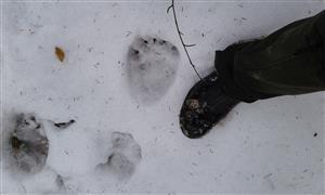 Stopy medveďov v PR Udava.