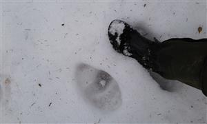 Stopy medveďov.