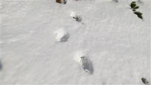 stopa medveďa