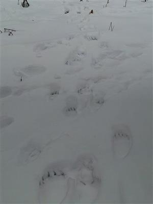 Stopy medvedice s dvomi mladými.