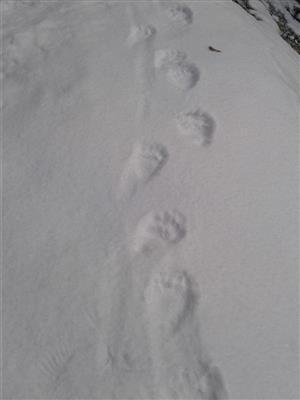 stopy medveďa 20x13 cm stopa