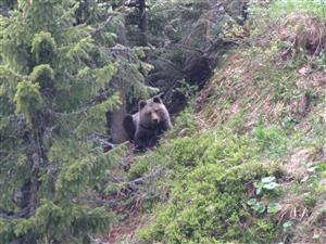 medved v ležovisku