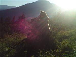 medvedica cerv upl