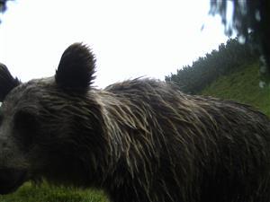 medv.kôprovica