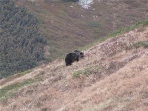 medved knazova