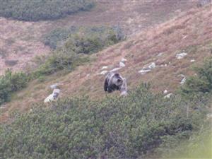 medved knazova2