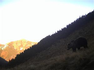 medved kôprovica3