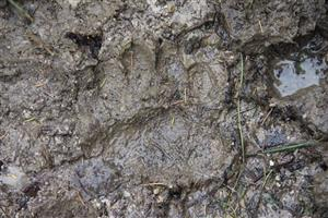 23.10.2018 stopa medveďa na vnadisku