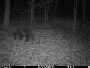 medveď na fotopasci