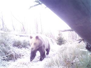 medved riečice