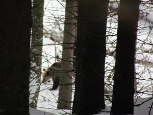 medved križna dol.