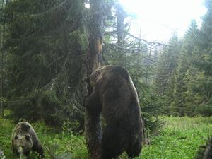 Medvede tomanova