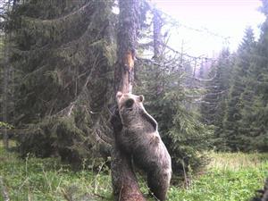 medved tomanova