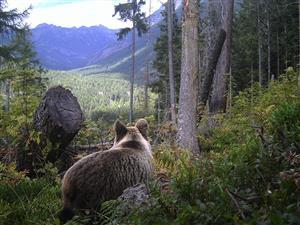 medvede palenica