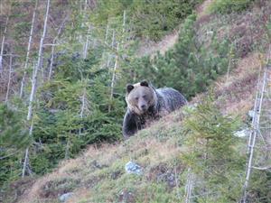 medved koprovica