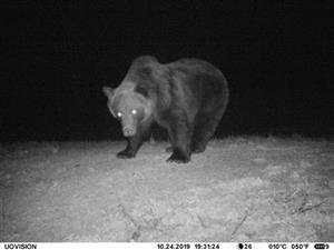 Medveď samec