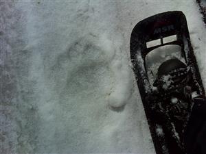 Stopa medveďa - staršia.