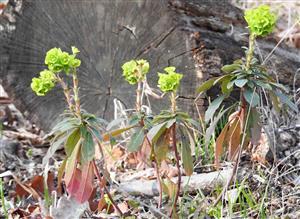 Euphorbia amygdaloides (syn.)
