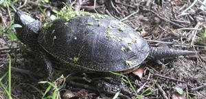korytnačka močiarna
