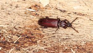 Rhysodes sulcatus