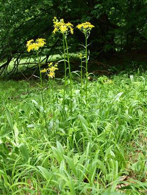 Tephoseris longifolia subsp.moravica